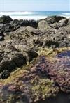 New Zealand Seaweeds: An Identification Guide